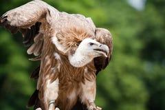 vautour Photographie stock