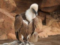 vautour Image libre de droits