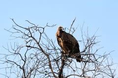 vautour Image stock