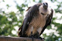 vautour Images libres de droits