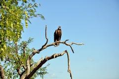 vautour Photos libres de droits