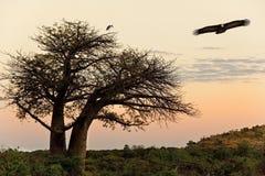 Vautour - arbre de baobab - Savuti - le Botswana Image stock