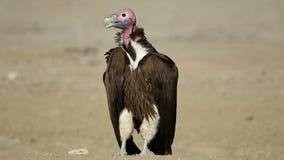 vautour au visage de plumetis au sol banque de vidéos