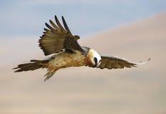 vautour barbu de lammergeyer Photographie stock
