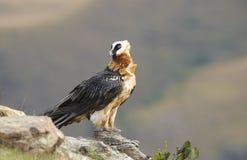vautour barbu de lammergeyer Images stock