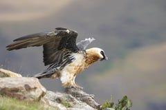 vautour barbu de lammergeyer Photos libres de droits