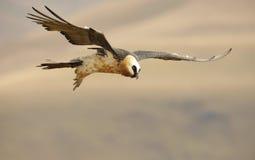 vautour barbu de lammergeyer Images libres de droits