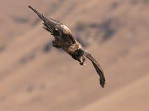 Vautour barbu plongeant vers le bas Photographie stock libre de droits