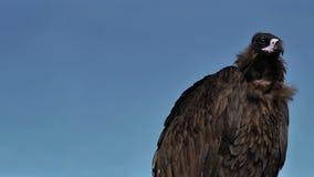 Vautour Cinereous avec le ciel bleu banque de vidéos