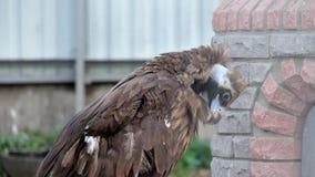 Vautour Cinereous en captivité Grand oiseau raptorial connu sous le nom de vautour moine clips vidéos