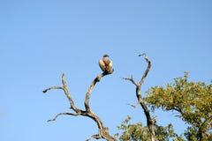 Vautour dans un arbre Photo stock