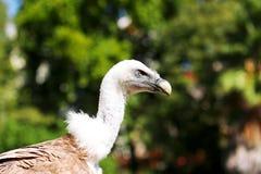 Vautour de Griffon Photo libre de droits