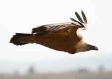 Vautour de Griffon Image libre de droits