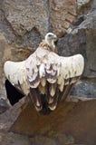 Vautour de Griffon Photo stock