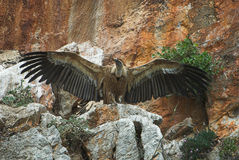 vautour de griffon Images libres de droits