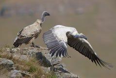 vautour de griffon de cap Photographie stock