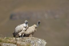 vautour de griffon de cap Images stock