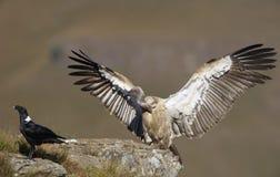 vautour de griffon de cap Images libres de droits