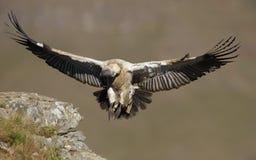 vautour de griffon de cap Photo stock