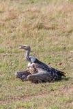 Vautour de Griffon de Ruppell dans le masai Mara Photographie stock libre de droits