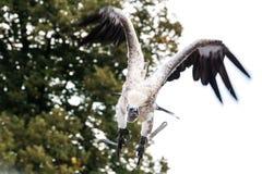 Vautour de griffon en vol Photos libres de droits