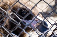 Vautour en captivité Oeil de lynx d'un prédateur photographie stock libre de droits