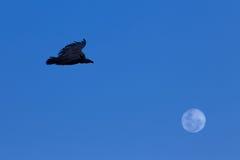 Vautour et lune Photo libre de droits