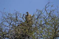 Vautour gardant le nid Image libre de droits