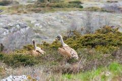 vautour Gris-à ailes images libres de droits