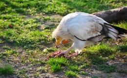Vautour mangeant un morceau de viande dans un zoo Image stock