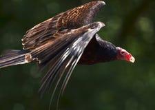 vautour rouge dirigé Images libres de droits