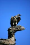 Vautour sur l'arbre Image libre de droits