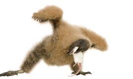 vautour urubu 33 дней coragyps atratus Стоковое фото RF