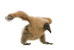 vautour urubu 33 дней coragyps atratus Стоковая Фотография RF