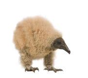 vautour urubu 33 дней coragyps atratus Стоковое Изображение