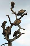 Vautours à dos blanc dans l'arbre Photos stock
