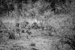 Vautours à dos blanc se reposant dans l'herbe photo stock