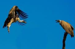 vautours Images stock
