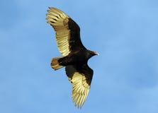 vautours Photo libre de droits