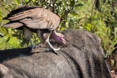 Vautours alimentant sur une carcasse de Buffalo Images stock