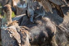 Vautours alimentant sur une carcasse de Buffalo Photographie stock