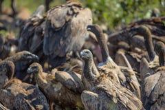 Vautours alimentant sur une carcasse de Buffalo Image stock
