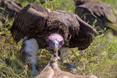 Vautours alimentant sur une carcasse de Buffalo Photos stock