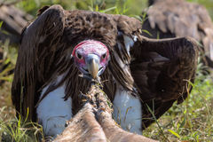 Vautours alimentant sur une carcasse de Buffalo Image libre de droits