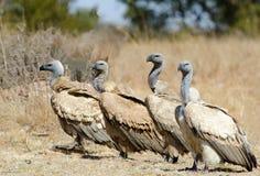 4 vautours de cap dans une rangée Images stock