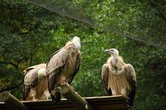 3 vautours de griffon dans la volière Photos stock