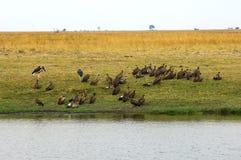 Vautours se reposant sur le côté du fleuve de Chobe Photos libres de droits