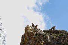 Vautours sur la roche photo stock
