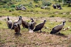 Vautours sur le safari Image libre de droits