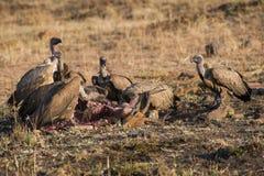 Vautours sur une mise à mort en Afrique du Sud Photo stock